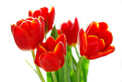 Red tulips in sunlight isolated on white Stock Images