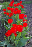 Red tulips  on a sunny day Stock Images