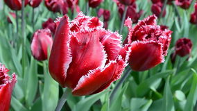 Red tulips in sunny day, flowers closeup, Stock Image