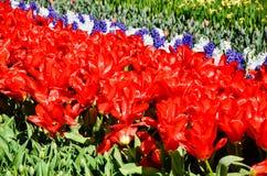 Red tulips in sunshine, Keueknhof Royalty Free Stock Image