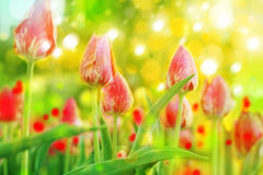Red tulips in sunshine. Royalty Free Stock Images