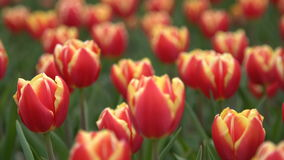 Red tulips swaying in the wind stock footage