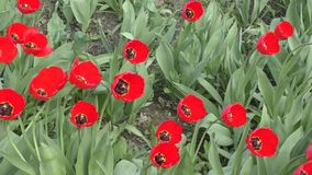 Red tulips swinging in the wind. On a spring day stock video