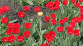 Red tulips swinging in the wind. On a spring day stock footage