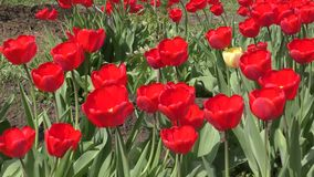 Red tulips swinging in the wind. Red tulips swinging in the wind on a spring day stock footage