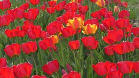 Red tulips swinging in the wind. Red tulips swinging in the wind on a spring day stock video footage