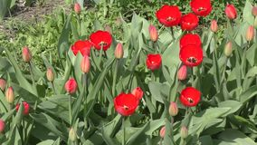 Red tulips swinging in the wind. Red tulips swinging in the wind on a spring day stock video