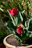 Red tulips in a terracotta flower pot out in a suburban garden. stock photos