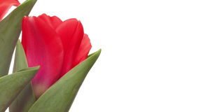 Red Tulips Time-lapse. Time-lapse of red tulip flowers blooming stock video footage