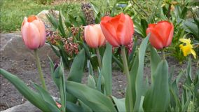 Red tulips stock video