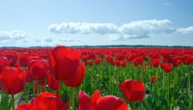 Red Tulips to Infinity Royalty Free Stock Photo