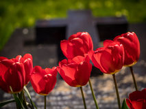 Red tulips and tomb Royalty Free Stock Photography