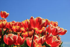 Red tulips with a touch of yellow on a field Stock Images