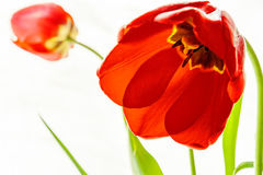 Red tulips. Red tulip closeup. The background is blurred Royalty Free Stock Photo