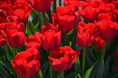 Red tulips at tulip farm. These are red tulips at the Wooden Shoe Tulip Farm near Woodburn, Oregon not far from Salem Stock Images