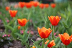 Red Tulips Tulipa Kaufmanniana in flower bed at Easter time. Red Tulips Tulipa Kaufmanniana as close-up in a bed of flowers with shallow depth of field and green Royalty Free Stock Photography