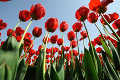 Red Tulips  under blue sky Stock Photos