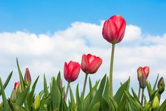 Red Tulips under a blue sunny sky Royalty Free Stock Photography