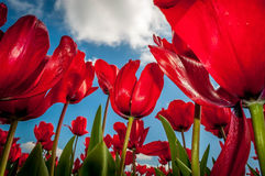 Red Tulips. Under a cloudy sky in early spring in Oregon Royalty Free Stock Image