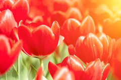 Red tulips under sunlight in spring Stock Photos