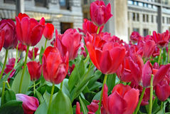 Red tulips in urban landscape. In spring Royalty Free Stock Photos