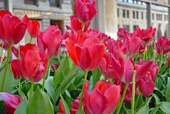 Red tulips in urban landscape. Vibrant red tulips in  an urban landscape in spring Stock Images