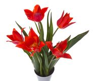 Red tulips in a vase, isolated on white Royalty Free Stock Photos