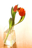 Red tulips in vase of water. Focus is on flower Royalty Free Stock Photos