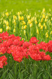Red tulips, very shallow focus Royalty Free Stock Photography