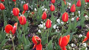 Red Tulips. This is a video of Red Tulips stock video