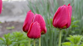 Red tulips. Video tulpany red swaying slowly in the wind in the garden stock video footage
