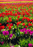 Red Tulips View Royalty Free Stock Photos