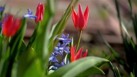 Red tulips. In warm spring day stock video footage