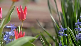 Red tulips. In warm spring day stock video