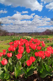 Red Tulips Washington DC Arlington Ridge Park Vertical Stock Image
