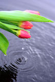 Red tulips in water Royalty Free Stock Images