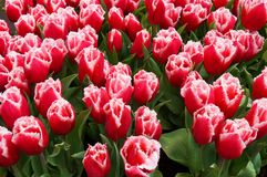 Red tulips with water drops in garden stock photography