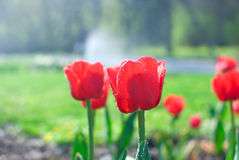 Red tulips with water drops in garden Royalty Free Stock Image