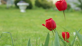 Red tulips waving from wind stock video footage