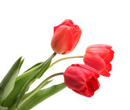 Red tulips on white Stock Photo