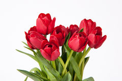Red Tulips on White Stock Photography