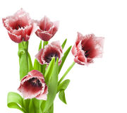 Red tulips on white background Stock Image