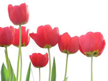 Red Tulips on White Background Stock Images