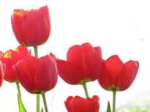 Red Tulips on White Background Royalty Free Stock Image