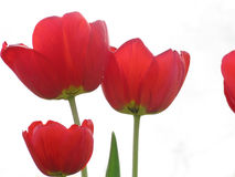 Red Tulips on White Background Royalty Free Stock Photo