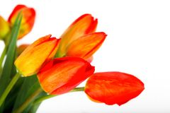 Red tulips on white background. Spring flowers closeup.Wedding invitation card Stock Image