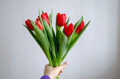 Red tulips in woman`s hand stock photos