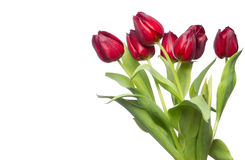 Red tulips on white. Beautiful red spring tulips on white background stock photo