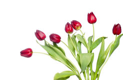 Red tulips on white. Beautiful red spring tulips on white background royalty free stock photography