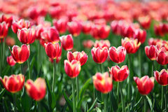 Red tulips with white border - shallow depth of field Stock Image